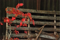 Red Leaves & Fenc...