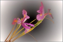Graceful Iris 2