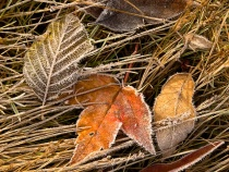 Crystalized Leave...