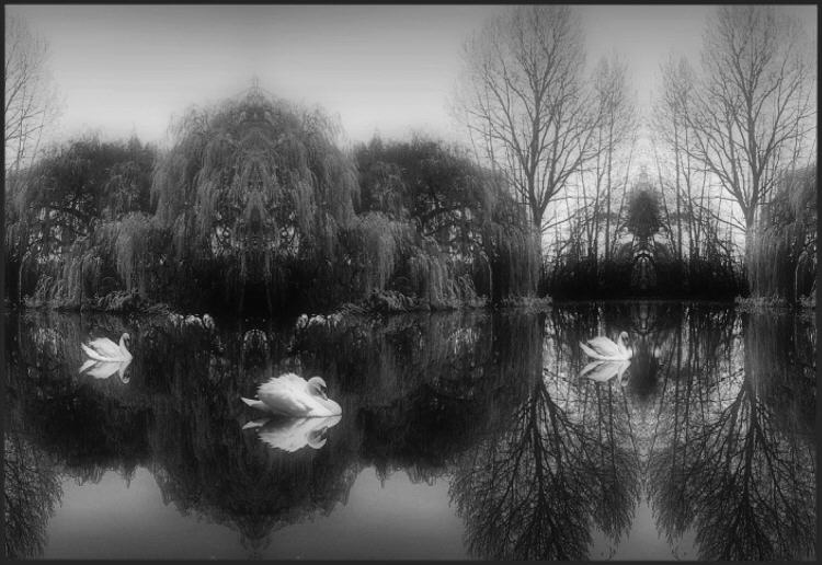 Willow Pond with Swans B&W
