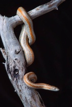 "California ""Rosy"" Boa"