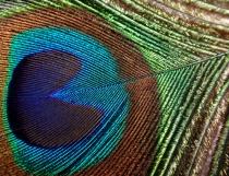 Peacock's fea...