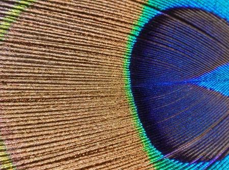 Peacock's feather - Close Up #2