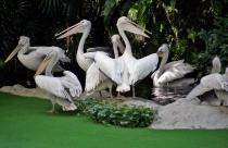Team Pelican