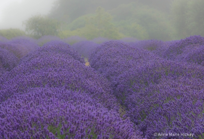The Lavender Field in Fog