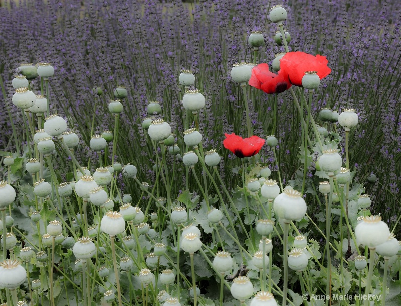 Poppies in Lavender Field