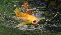 ~Big Mouth Koi~