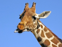 Giraffe Diss