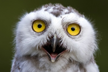 Young Snowy Owl