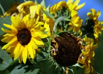 Oregon Sunflowers...