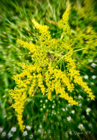 Goldenrod and Bee