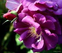 ~Purple Roses~