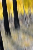 aspens & pines