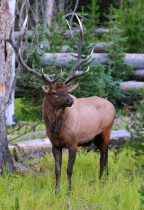 Elk in Yellowstone NP