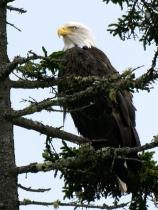 Maine Eagle