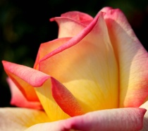 Rose, folding softly, color into color