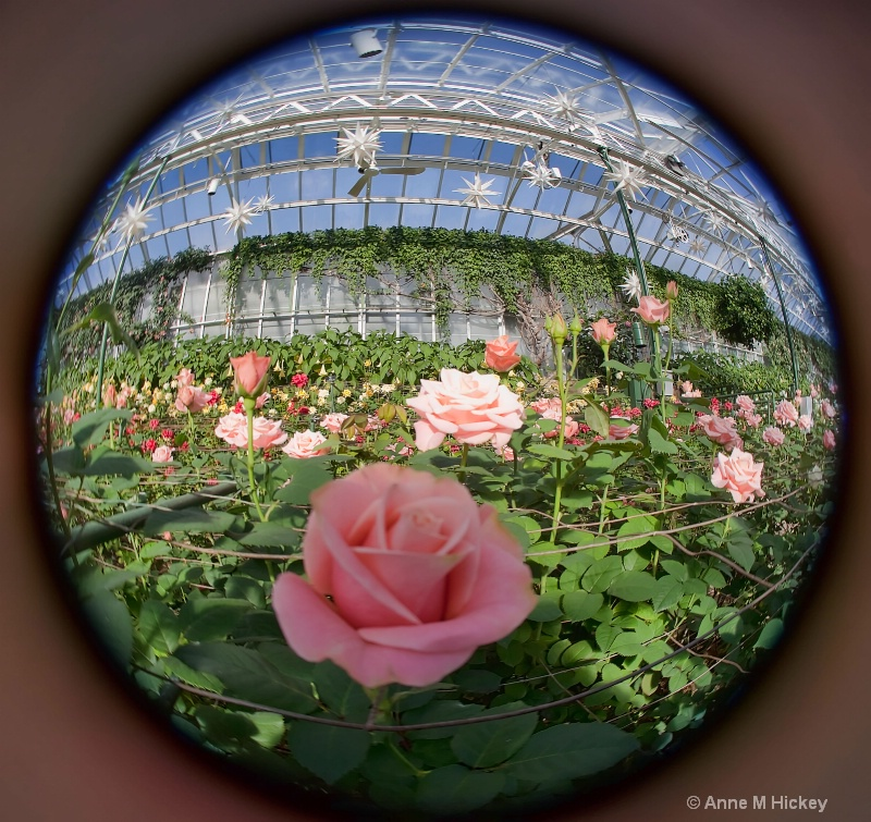 Pink Rose Thru a Fisheye