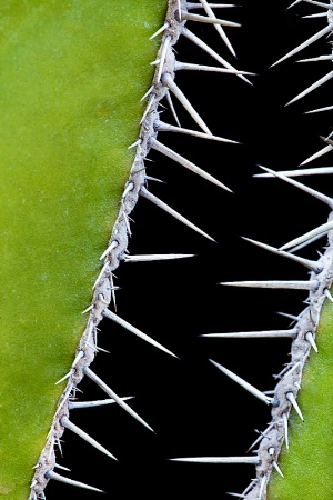 Mexican Fencepost Cactus