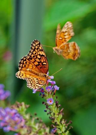 Butterfly Runway