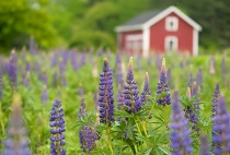 Country Lupines