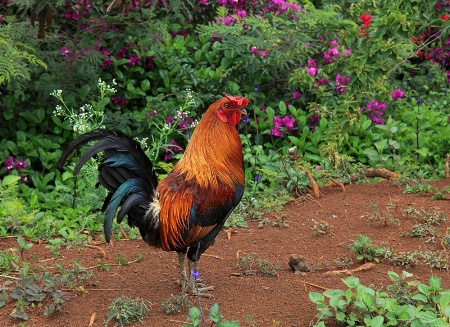 Feral Rooster in Paradise