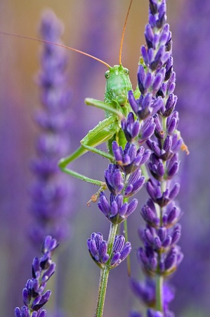 Monsieur Grasshopper