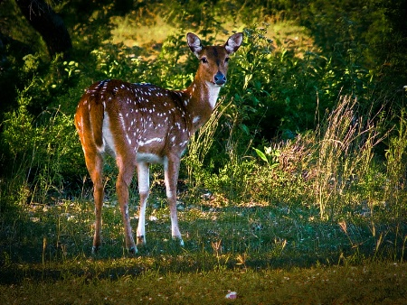 Axis Deer Evening Light
