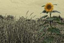 Sunflower in the Cornfield