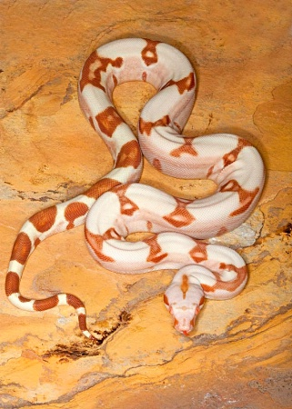 Super Sharp Sunglow Red-tailed Boa