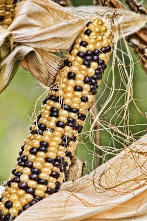 Steelers Indian Corn