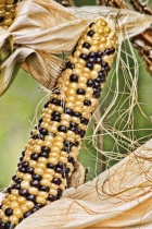 Steelers Indian Corn
