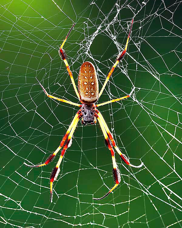 Golden Silk Orb Spider