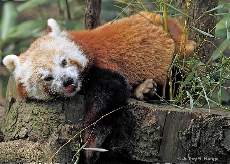 """""""Red Panda"""""""