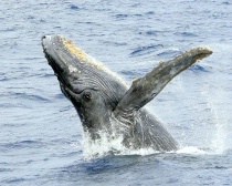 Humpback Whale, M...