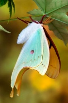 Magnificent Moon Moth