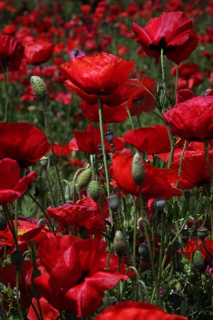 Red Poppy Many
