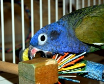 Pionus, Busy Beak...