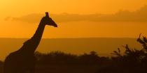 Giraffe Silhouett...