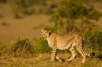A Cheetah in Mara