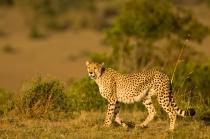 A Cheetah in Mara