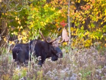 Moose and Foliage