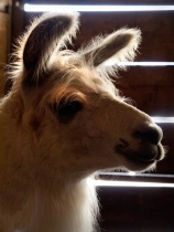 Llama Light