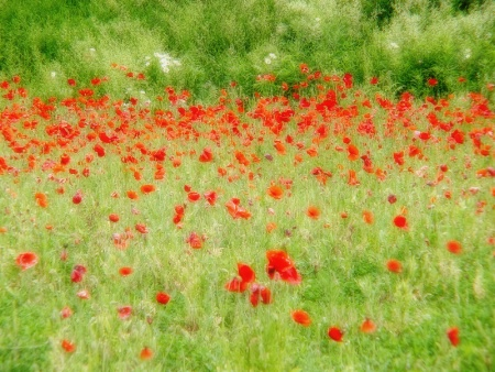 Dreamy Poppy Field