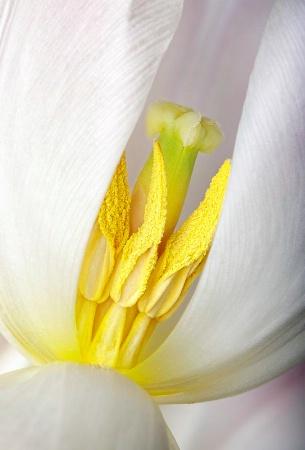 Tulip Stamens