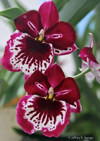 """Orchid From Hilo, Hawaii"""