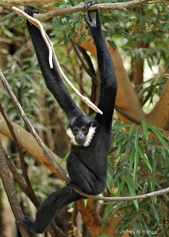 """Male White-Cheeked Gibbon"""