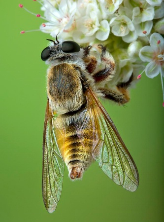 Assassin Fly