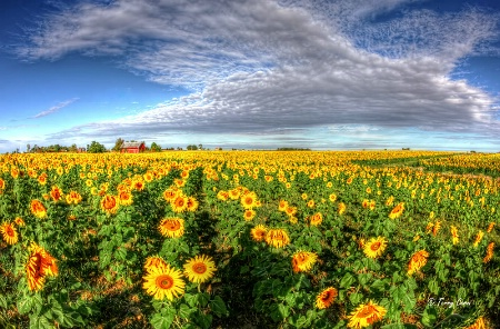Indiana Sunflowers