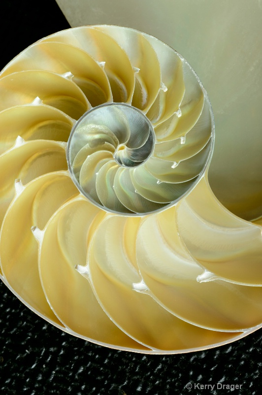 Nautilus SeaShell Design 1
