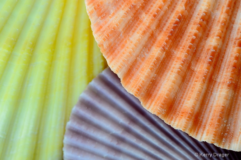 Scallop Shell Pattern 2